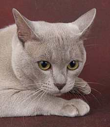 Burmese cat colours uk